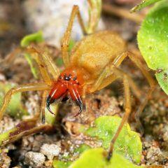 Ammen-Dornfinger ist eine Gift-Spinne, die in deutschen Gärten vorkommt