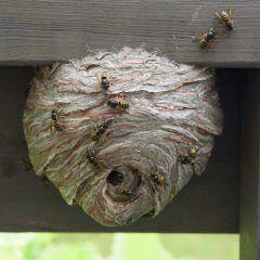 So entfernt man erfolgreich ein Wespennest im Garten oder auf dem Balkon