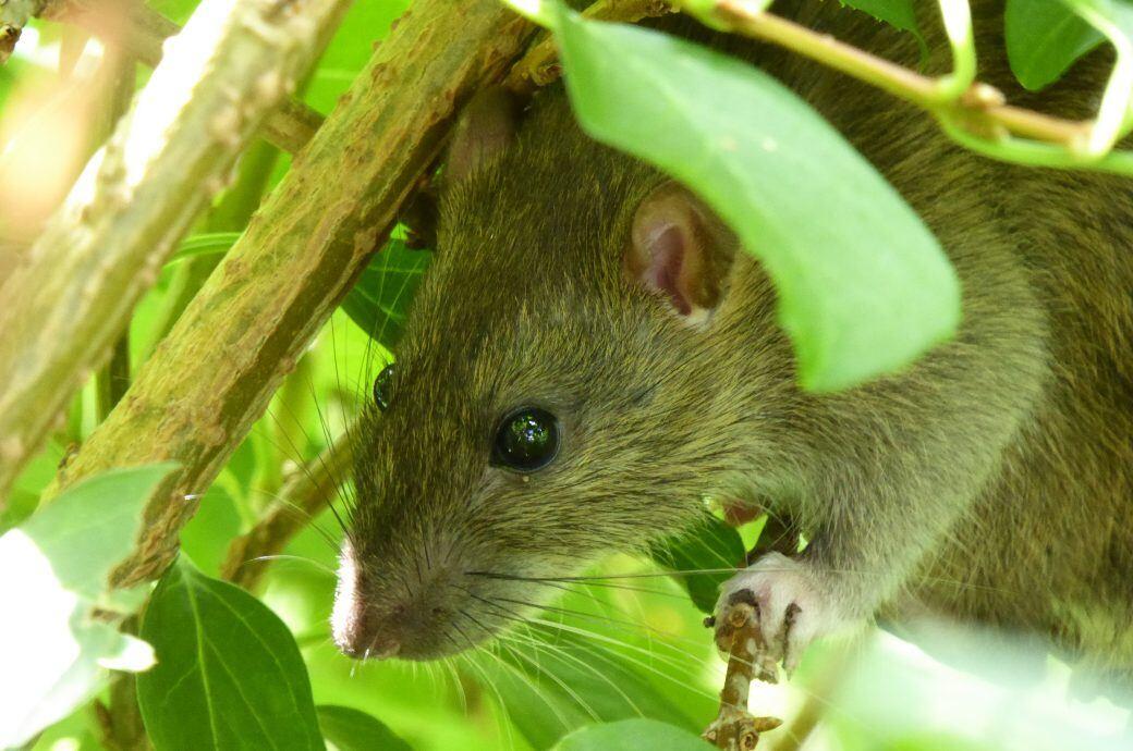 Ratten sind Krankheitsüberträger