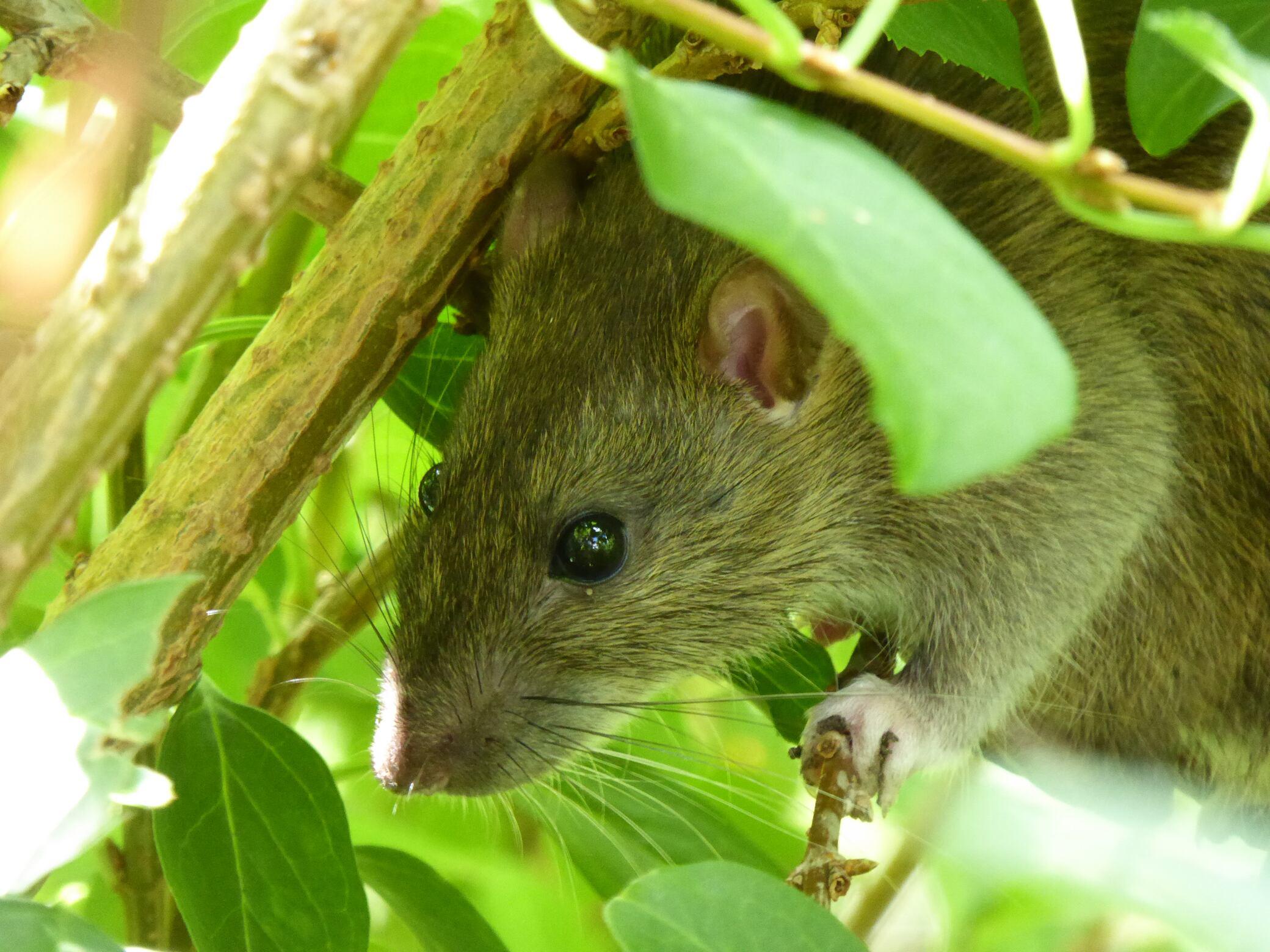 Das können Sie bei Ratten und Mäusen im Garten tun