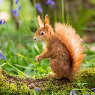 Im Garten können Sie Eichhörnchen vor Hitze und Verdursten schützen