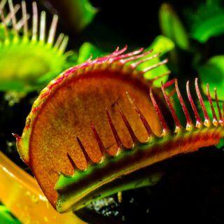 Muss man fleischfressende Pflanzen füttern und wenn ja, womit?
