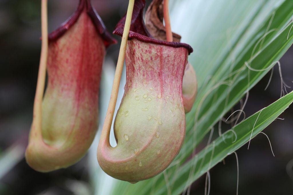 Kannenpflanzen sind fleischfressende Pflanzen