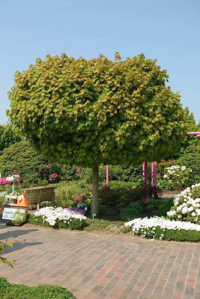 Eine von vier schattenspendenden Baumarten für kleine Gärten ist die der Kugel-Ahorn