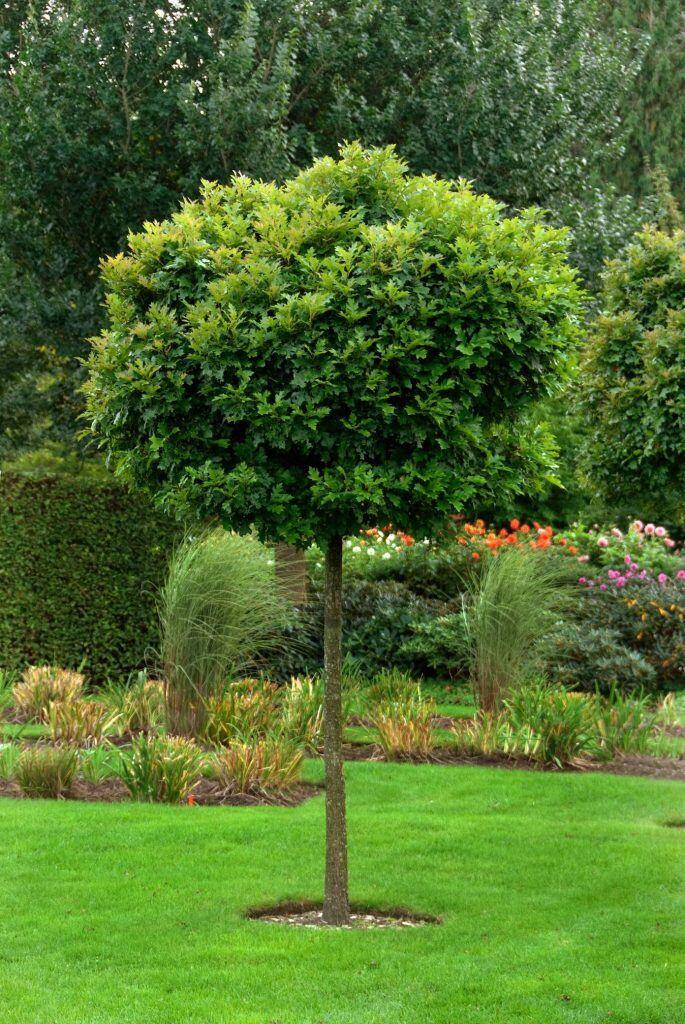 Eine von vier schattenspendenden Baumarten für kleine Gärten ist die Kugel-Sumpfeiche