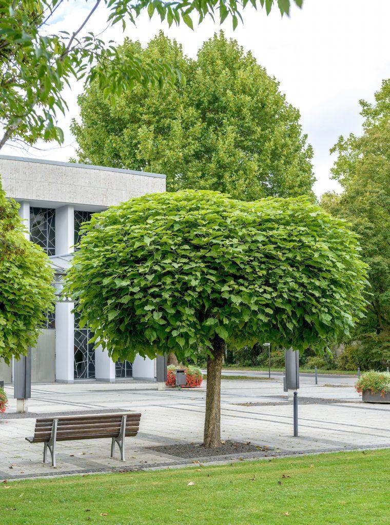 Eine von vier schattenspendenden Baumarten für kleine Gärten ist die der Kugel-Trompetenbaum