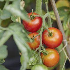 Wann man Triebe und Blätter von einer Tomaten entfernen sollte