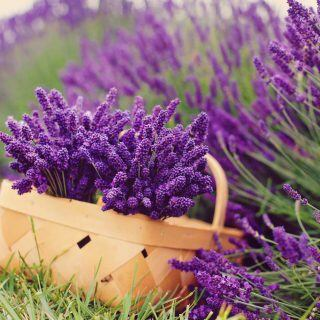 Wie Sie Lavendel richtig schneiden