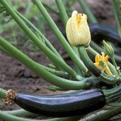 Was Sie auf keinen Fall neben Zucchini anpflanzen sollten