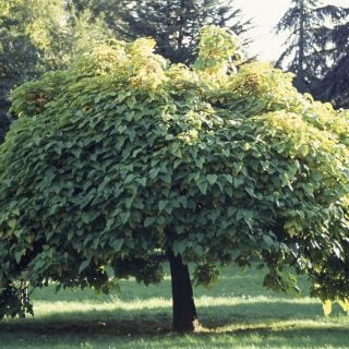 4 schattenspendende Baumarten für kleine Gärten