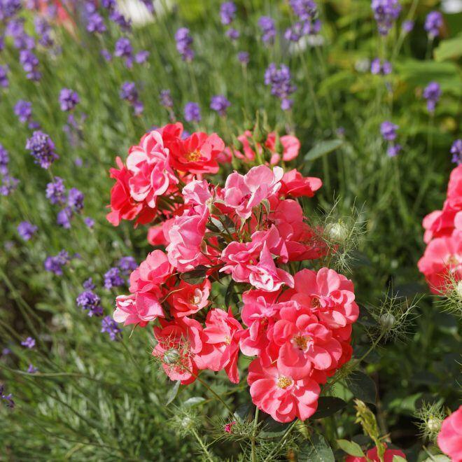 Warum man Rosen und Lavendel nicht nebeneinander pflanzen sollte