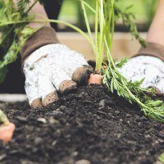 Diese Gemüsesorten sollten Sie nebeneinander anpflanzen