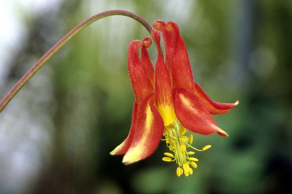 Rot leuchtende Akelei ist eine Zweijährige Pflanze