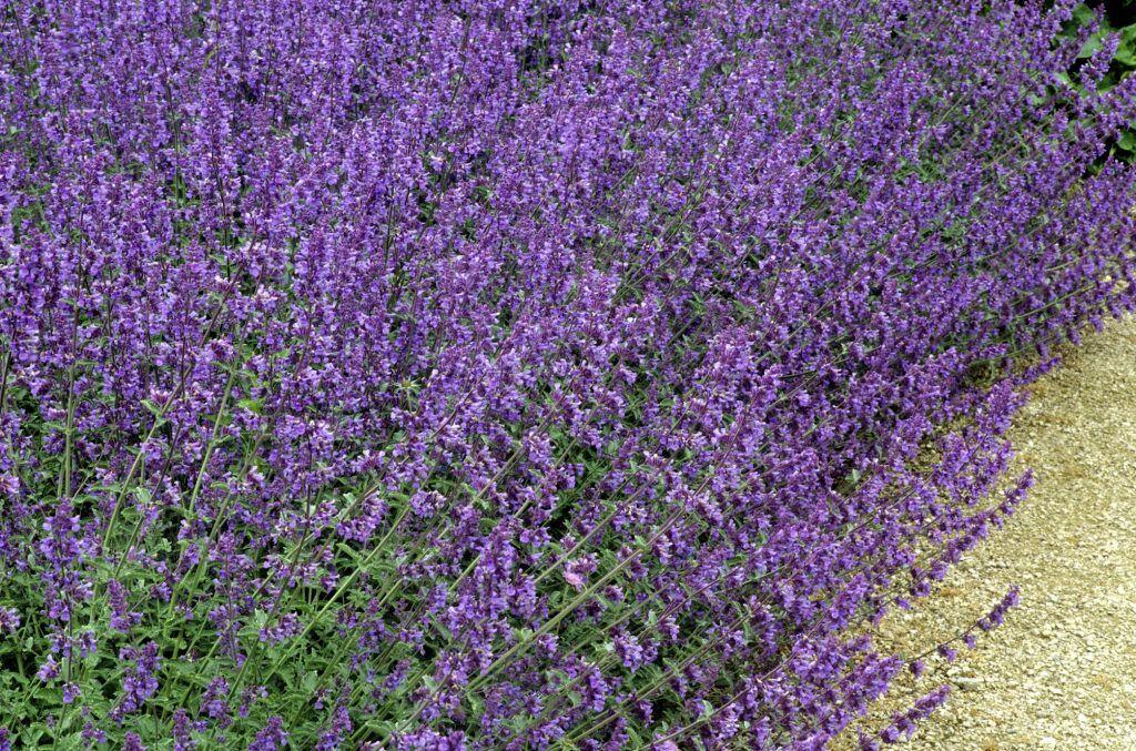 Katzenminze als Alternative zu Lavendel neben Rosen pflanzen