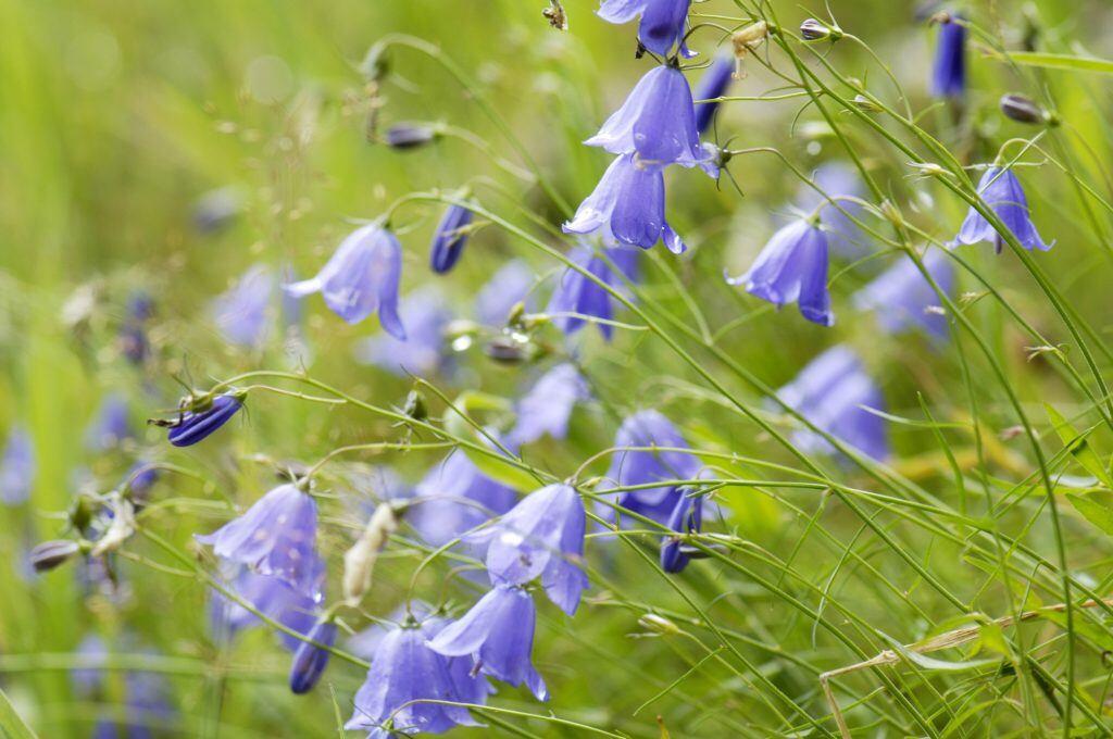 Die Glockenblume als Alternative zum Lavendel neben Rosen pflanzen