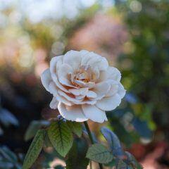 Es gibt einen Trick, mit dem man die Blüte der Rose einfach verlängern kann