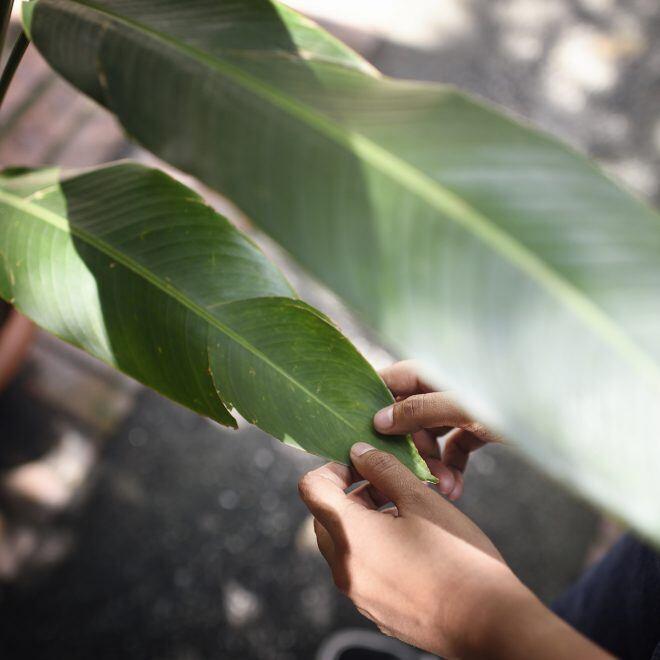 Wie Sie die Blätter Ihrer Zimmerpflanzen richtig reinigen