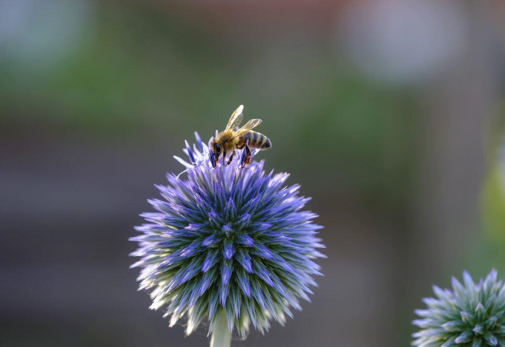 Auf die Kugeldistel Echinop fliegen Bienen