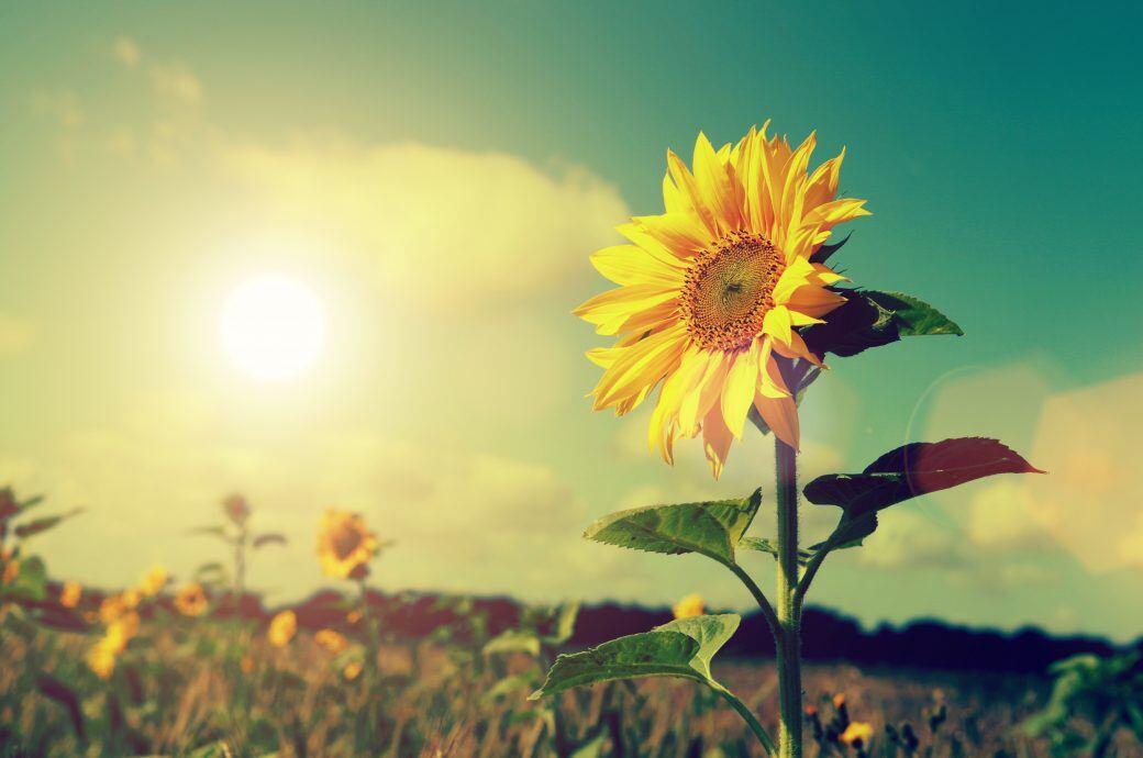 Eine Sonnenblume steht im Feld. Nach der Ernte verträgt sie allerdings weniger Sonne