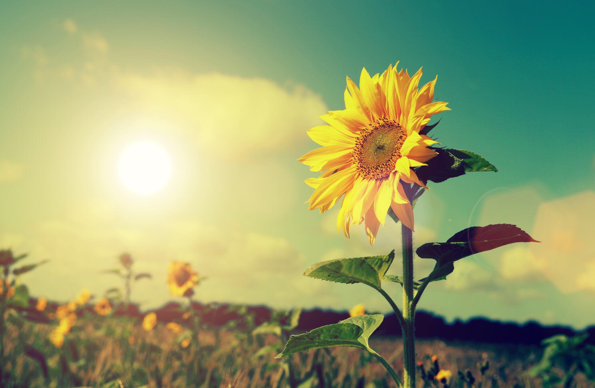 Daher hat die Sonnenblume ihren Namen