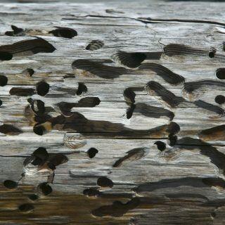 Holzwürmer haben sich ihre Wege durchs Holz gebahnt