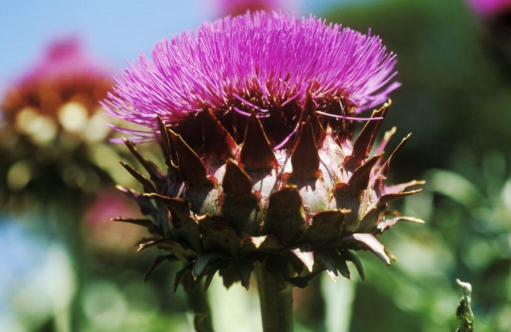 Artischocke mit Blüte