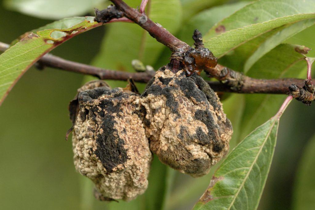 Früchte, die von Pilzen befallen sind, nicht am Baum hängen lassen
