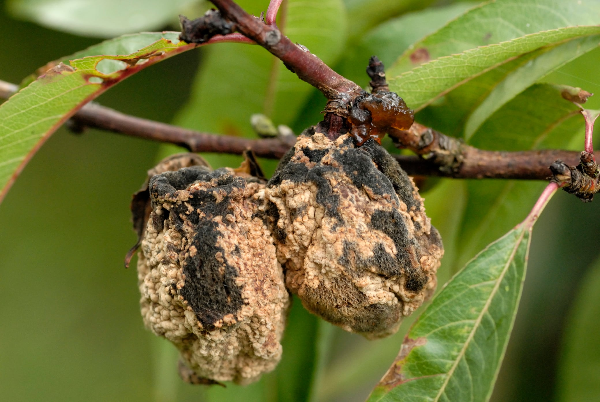 Das sollten Sie tun, wenn an Ihrem Baum verfaultes Obst hängt