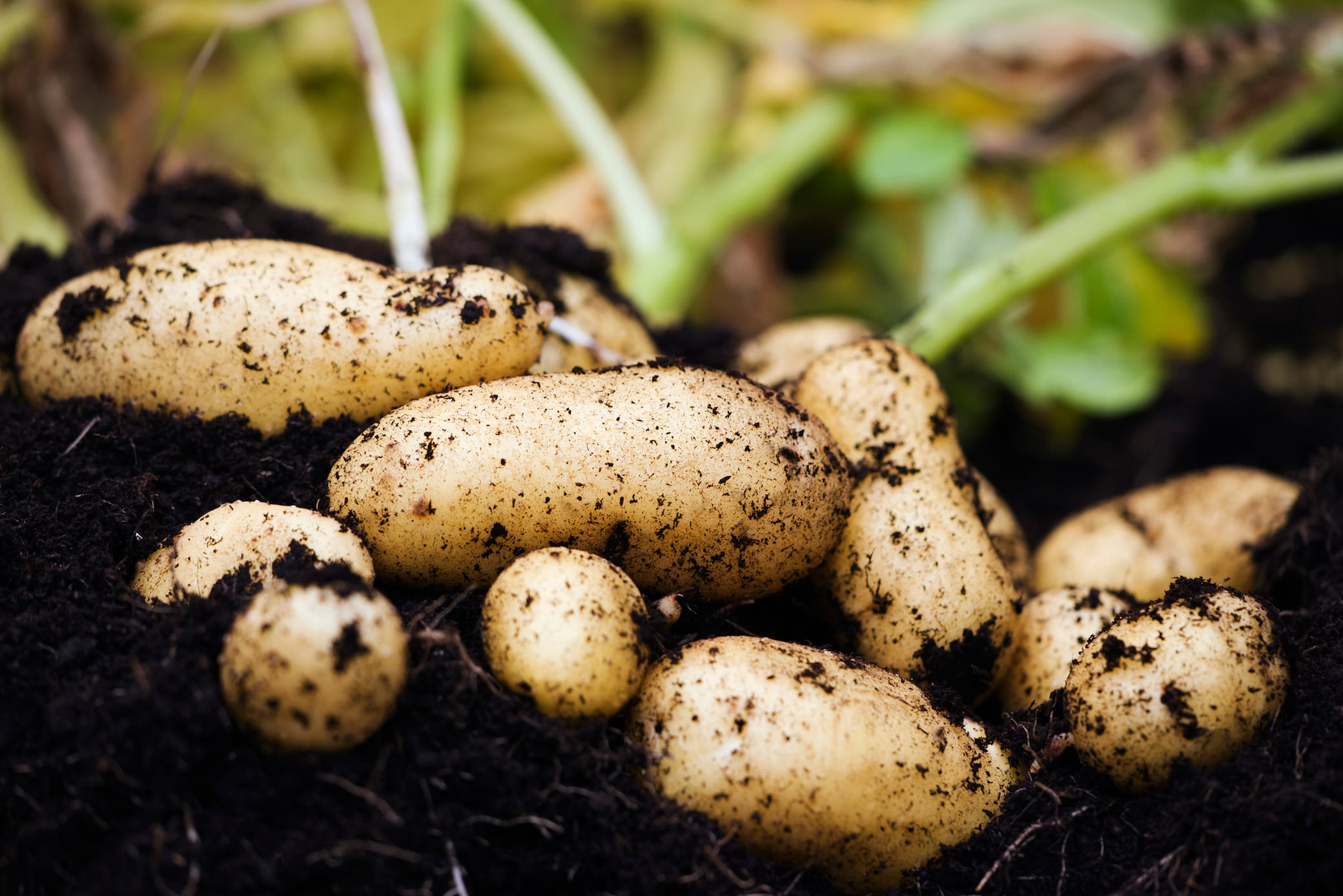Kartoffeln ernten und richtig lagern