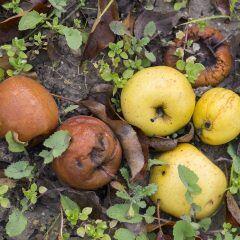 Fallobst im Garten richtig entsorgen
