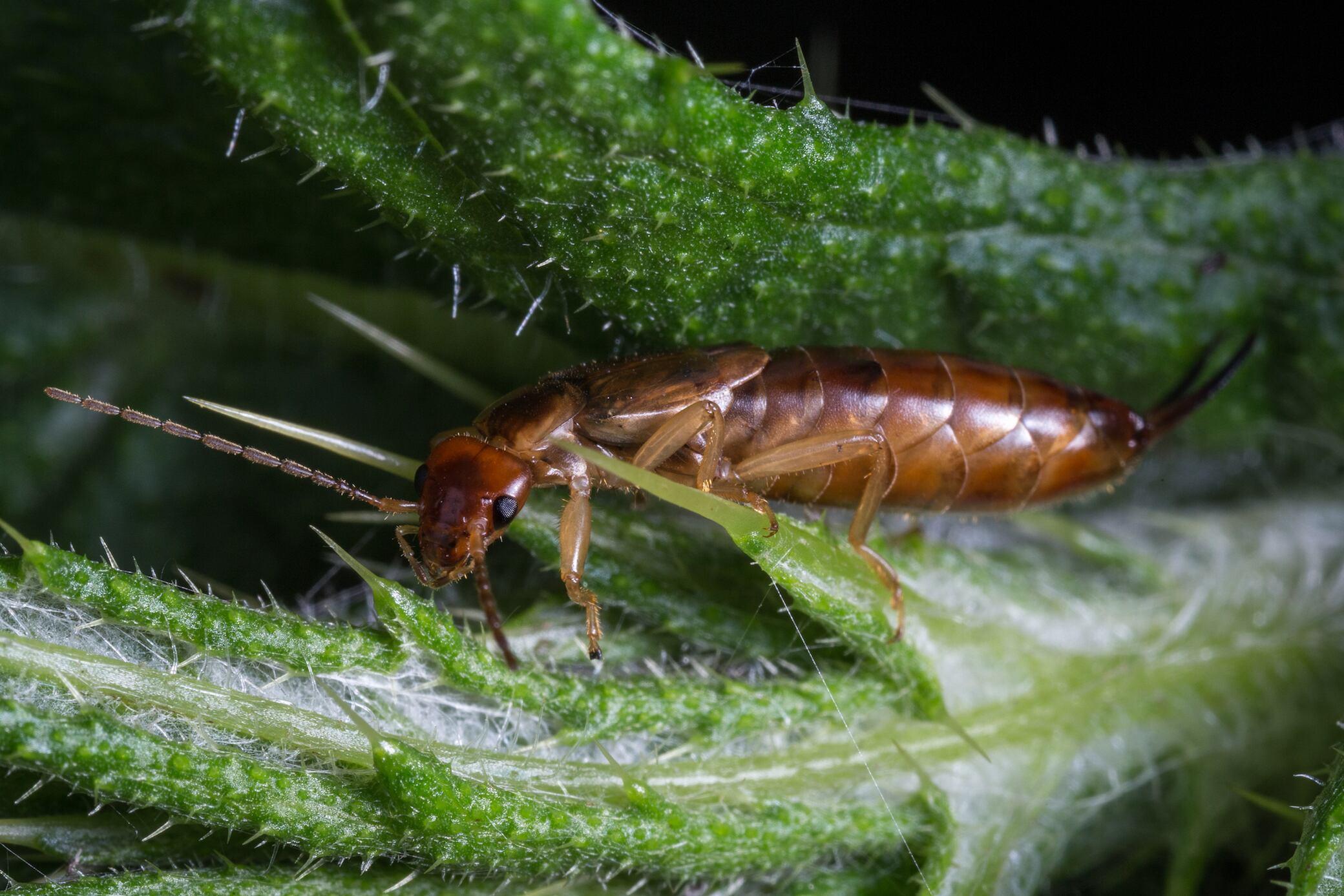 Mit Strohfallen Pflanzen vor Schädlingen schützen