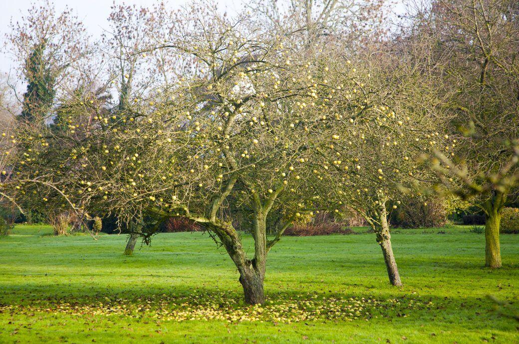 Bäume verlieren im Spätsommer und Herbst ihre Früchte