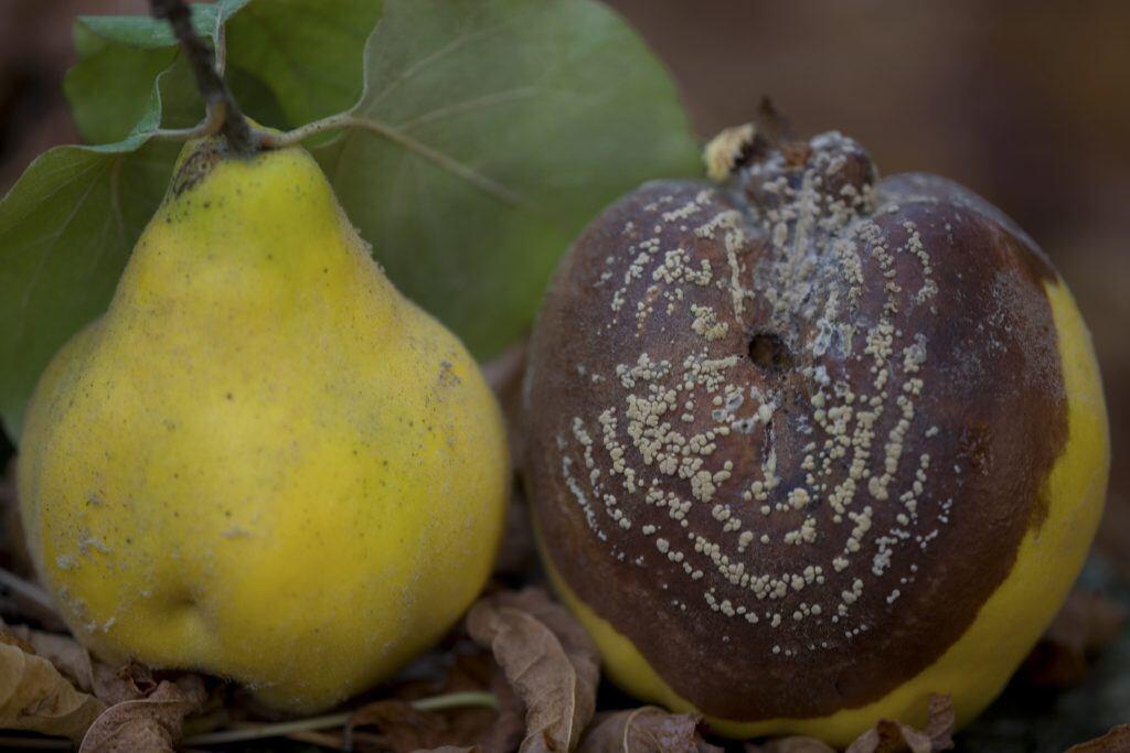 Durch das Loch des Apfelwicklers dringt der Pilz Molinia in die Frucht ein
