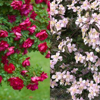 Worauf man beim Einpflanzen von Rosen und Klematis achten muss