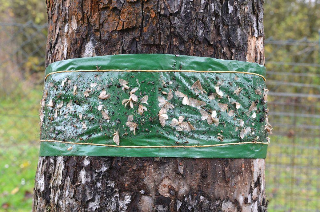 Ab Ende September sollten Sie Leimringe um Ihre Obstbäume legen, um sie vor Frostspannern zu schützen