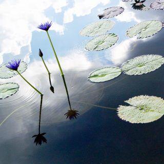 Die Lotusblume darf nicht im Gartenteich überwintern