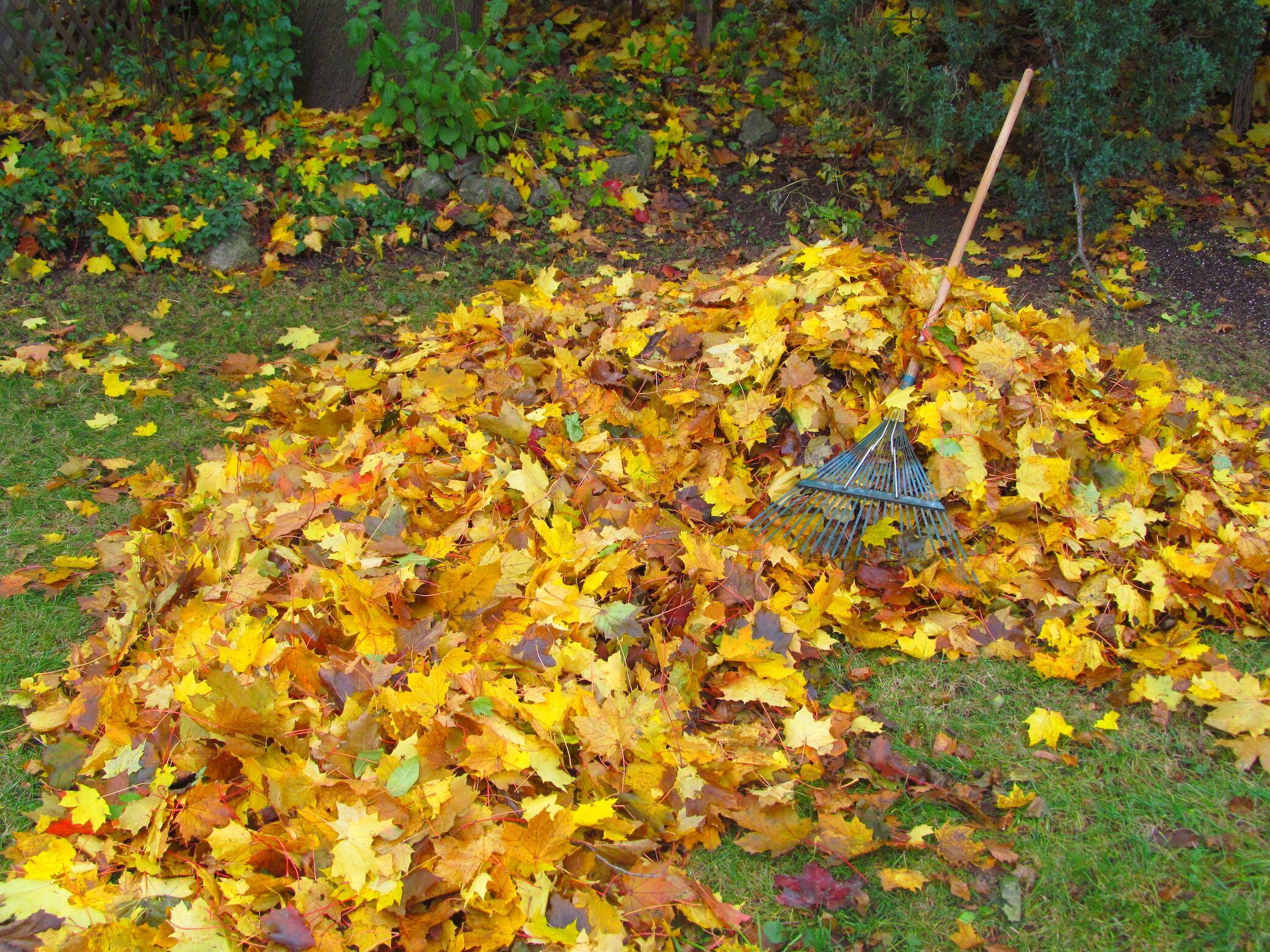 Sollte man Laub im Garten kompostieren, entsorgen oder liegen lassen?