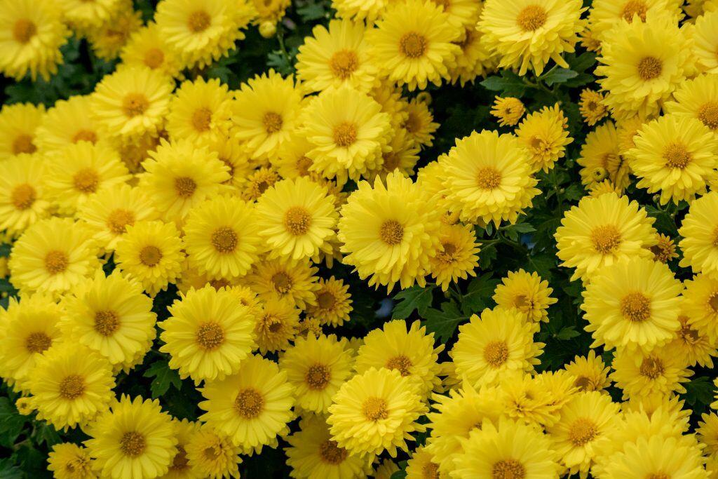 Chrysanthemen können im Hebst auf dem Balkon oder im Garten angepflanzt werden