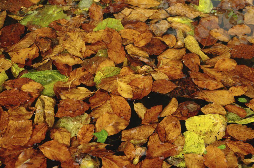 Laub im Gartenteich sollten Sie vor dem Winter entfernen