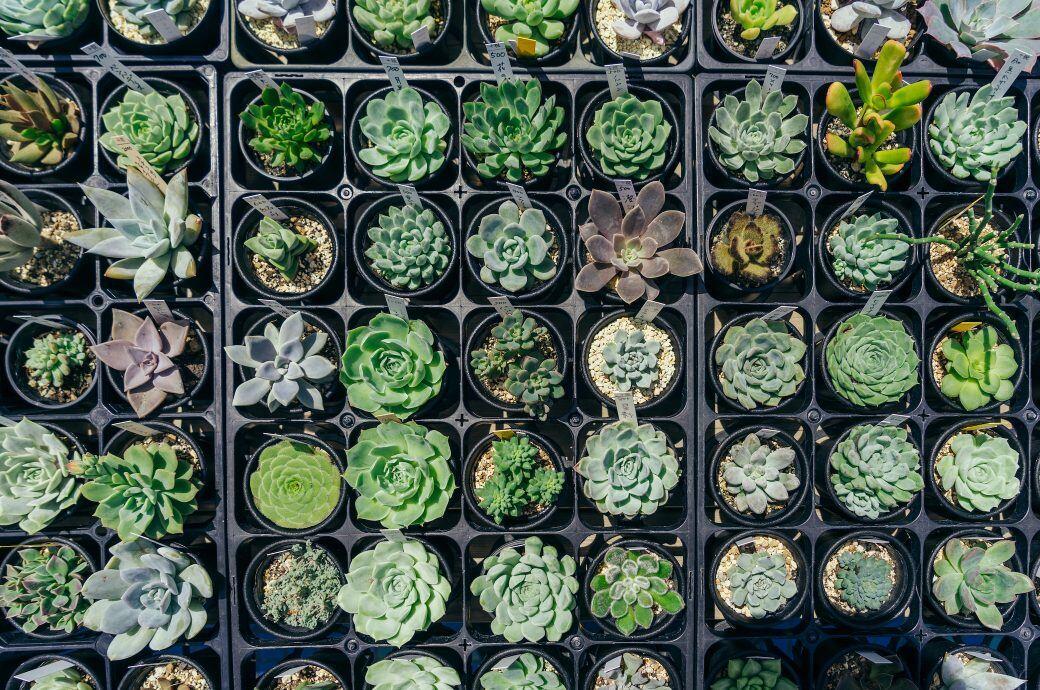 Ein Sammlung verschiedener Sedumpflanzen von oben