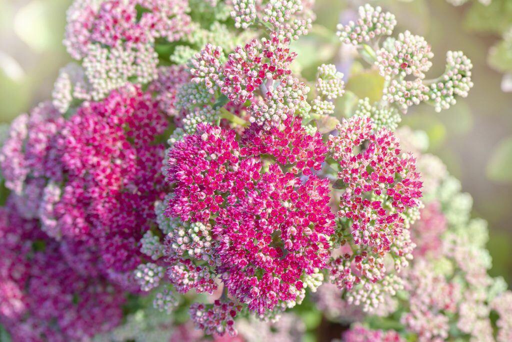 Sedumpflanzen bilden teilweise farbenprächtige Blüten aus