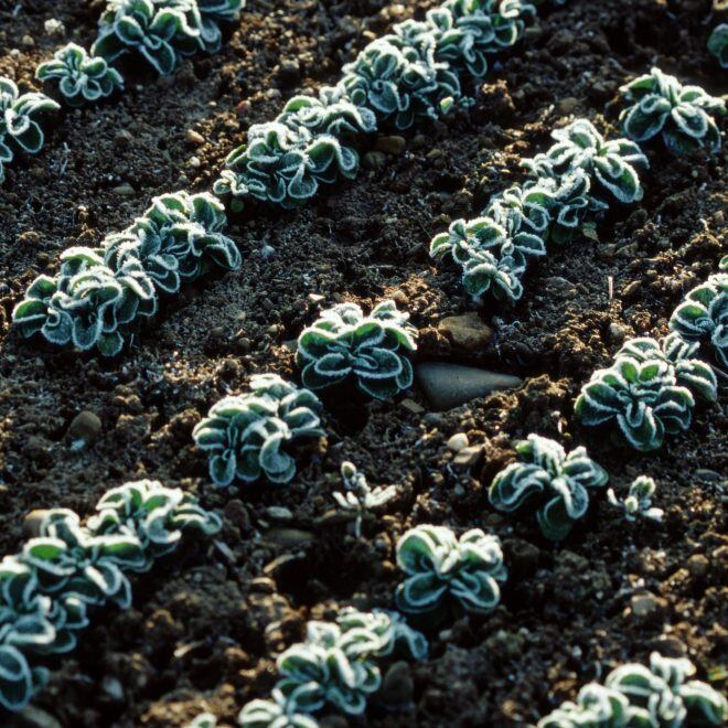 Feldsalat in einem Beet