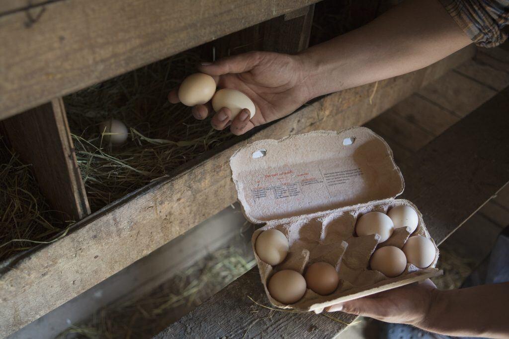 Hühner im Garten halten. Schon bald hat man die ersten eigenen Eier.
