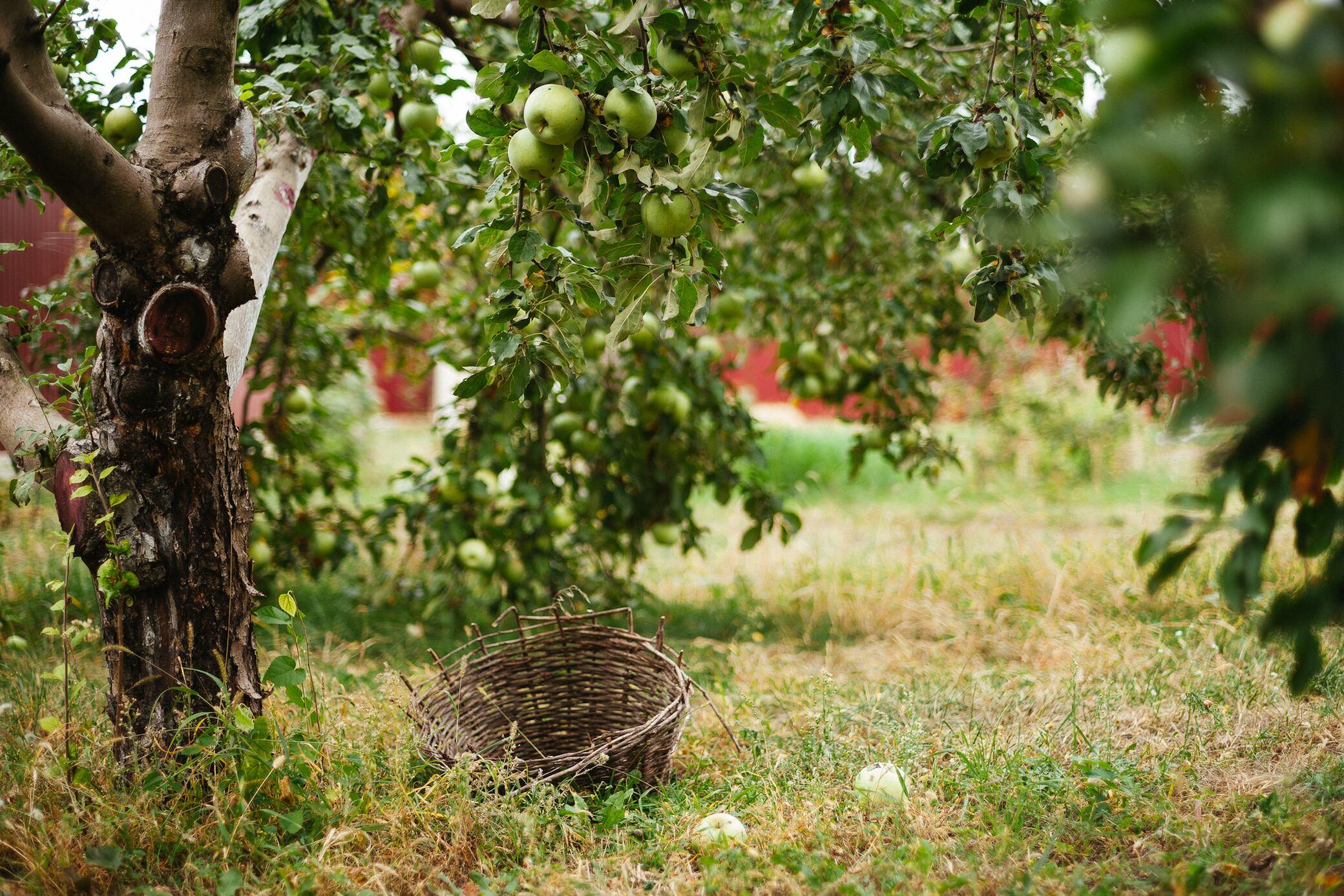 Wie Sie Obstbäume mit Leimringen schützen