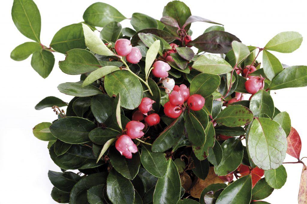 Herbstpflanzen Rebhuhnbeere