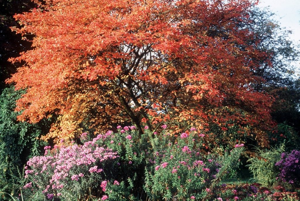 Felsenbirne mit rötlichem Herbstlaub