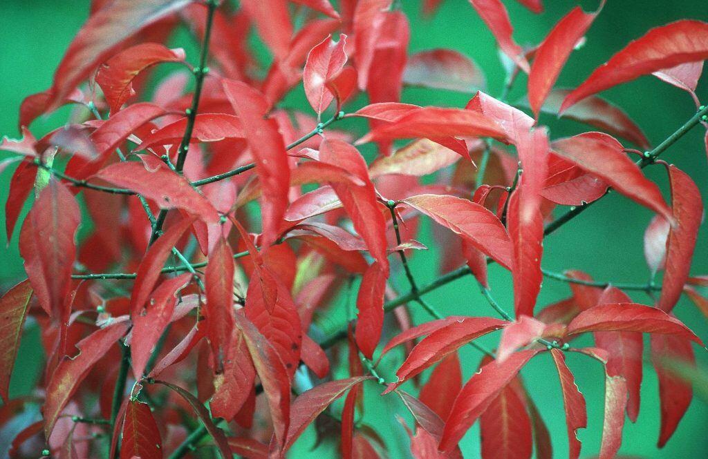 Das Pfaffenhütchen hat eine rötliche Herbstfärbung