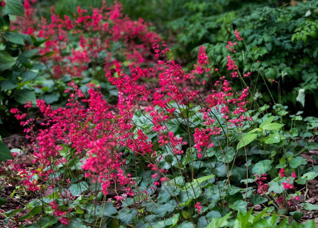 Herbstfärbung: Purpurglöckchen mit purpurroten Blüten
