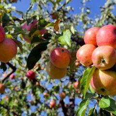 Obstbäume und Hecken im Herbst pflanzen