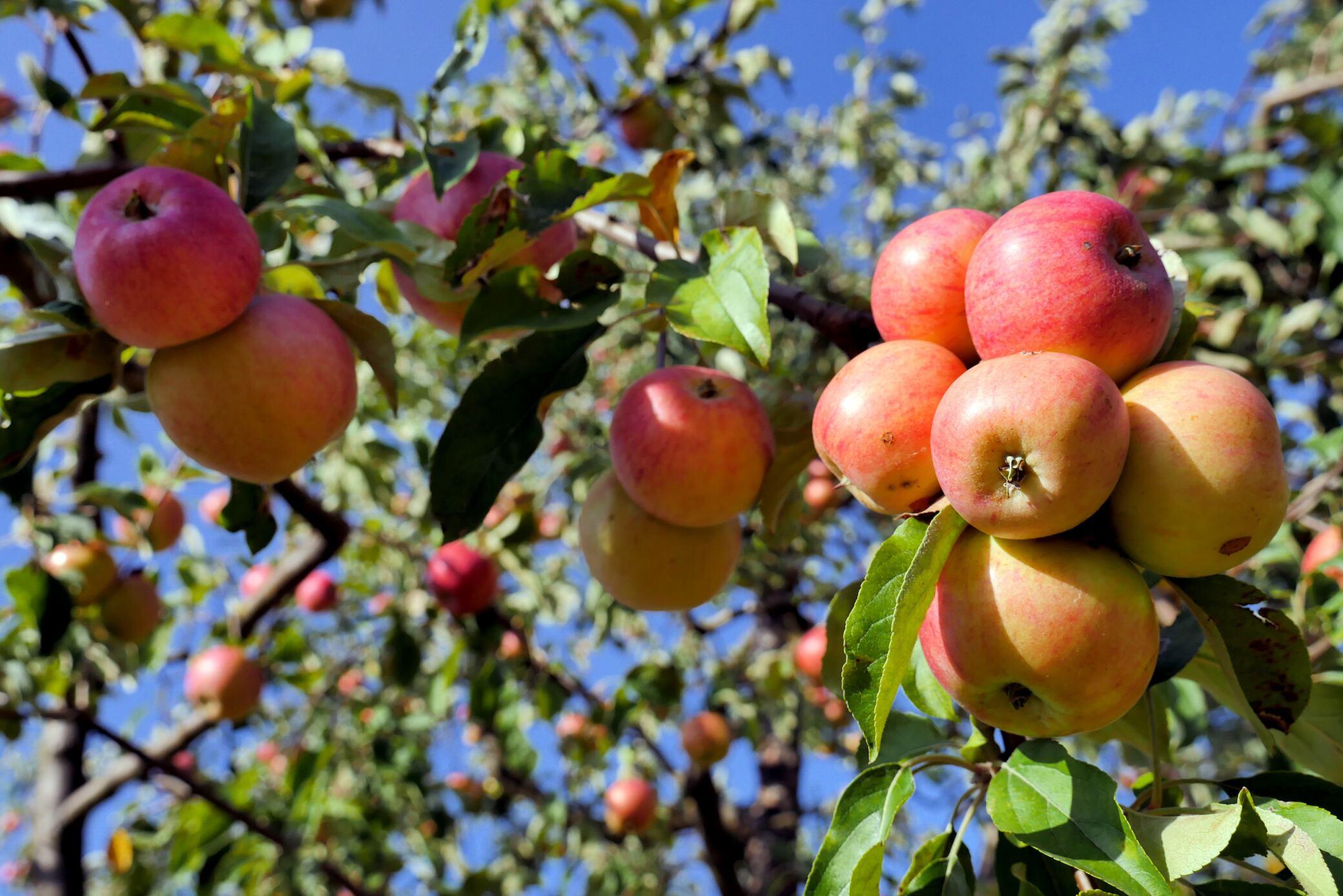 Diese Obstbäume und Hecken sollten Sie im Herbst pflanzen
